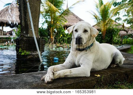 A golden labrador retriever lies down next to a pond with its paws outstretched