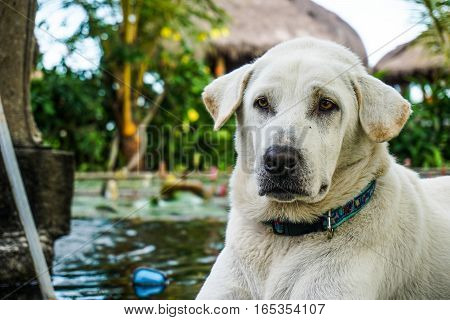 A closeup of a golden labrador retriever looking away from the camera next to a pond
