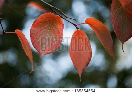 Colorful autumn landscape colorful aspen leaves macro view. Selective focus. Shallow depth field.