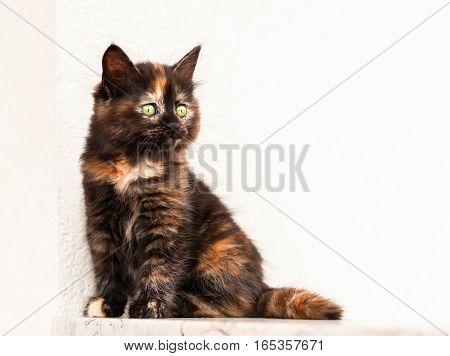 European young. cat. Tortoiseshell or calico cat