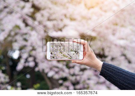 Hand holding smartphone taking photo of beautiful cherry blossom sakura in spring time.
