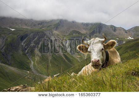 Swiss cow, enjoying a break after lunch.