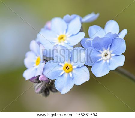flowers blue forget-me on a natural background