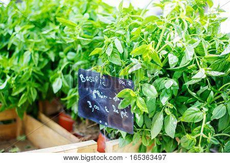 Organic fresh basil from mediterranean farmers market. Healthy local food market in Arles, Provence, France.