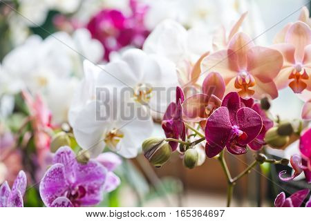 Colorful flower Orchids. Beautiful Orchidaceae Phalaenopsis pink, red, violet orchid flowers closeup. shallow depth field