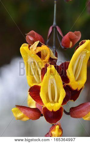 Thunbergia Mysorensis, Also Called Mysore Trumpetvine