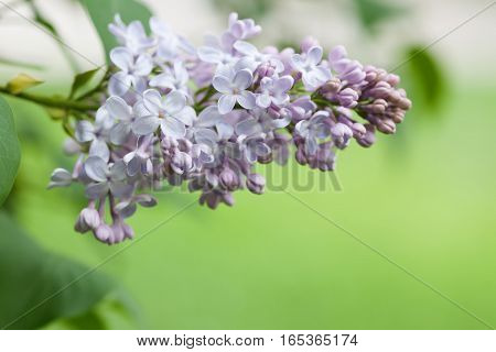 Springtime landscape with bunch white violet flowers. lilac blooming plants. green background. soft focus shallow depth of field.