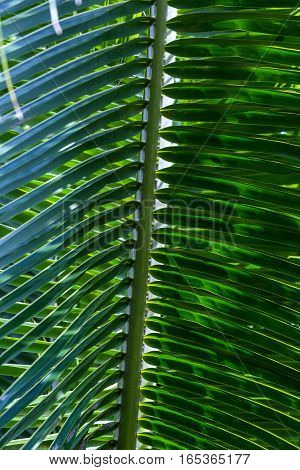 Green palm leaf of coconut tree. Close-up