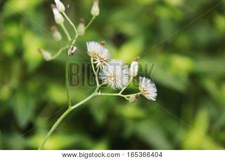 wild white fluffy flower of a grass