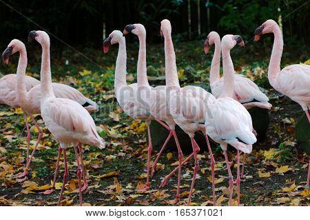 Flock of pink flamingos in a park