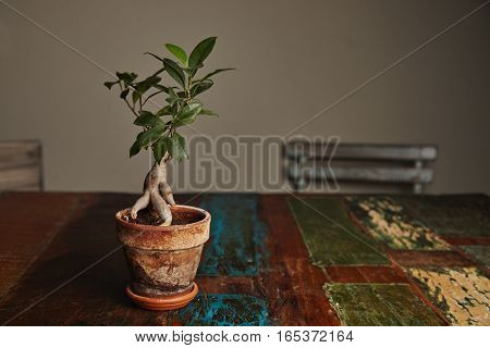 Beautiful green ficus tree grown as a ginseng bonsai in a rustic stained clay pot on a rough old wooden table with peeling paint