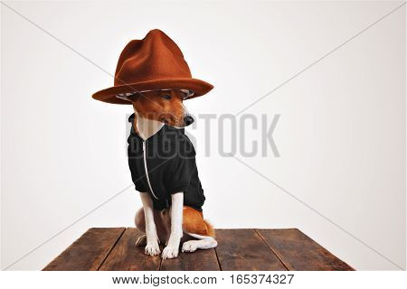 Basenji dog in a black hoodie wears a fancy big mountain hat with colorful lining isolated on white