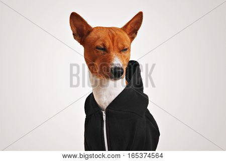 Brown and white basenji dog in a black hoodie with metal zipper squints disdainfully isolated on white