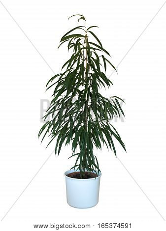 Ficus binnendijkii Alii potted indoor plant isolated on white background