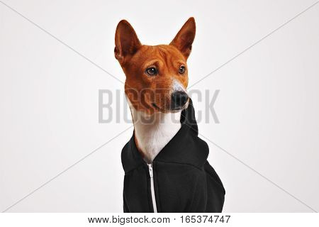 Portrait of curiously looking brown and white basenji dog in black zippered hoodieisolated on white background