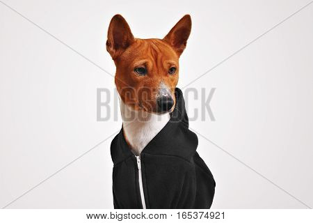 Surprised looking brown and white basenji dog in black zippered hoodie against white background