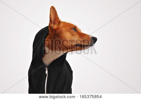 Beautiful basenji dog in black casual hoodie with hood on and protruded ear, looking sideways in studio with white walls