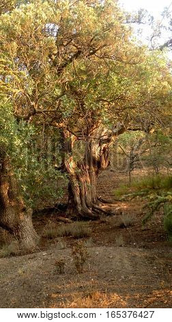 Juniper tree. It is old. Tree of 800 years