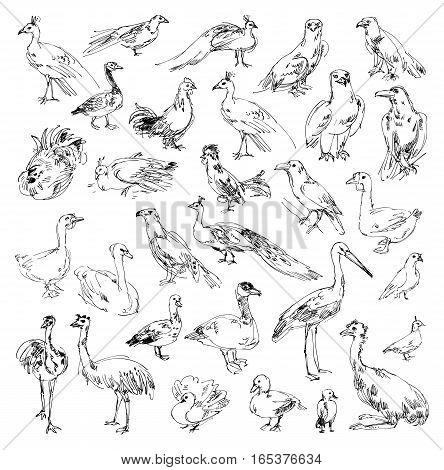 Wild birds. Zoo. Set. Hand-drawn. Vector illustration. Isolated on white background. Set