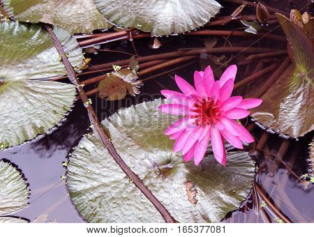 Nelumbo nucifera, also known as Indian lotus, sacred lotus, bean of India, or simply lotus, is one of two species of aquatic plant in the family Nelumbonaceae which are Indeginious to Asia, Australia and Queensland.