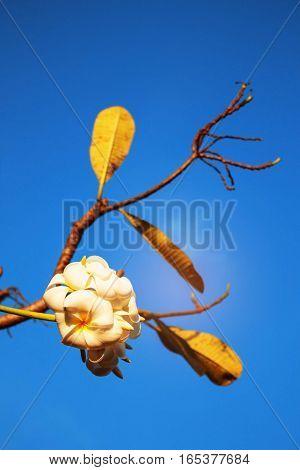 white of frangipani on the blue sky.