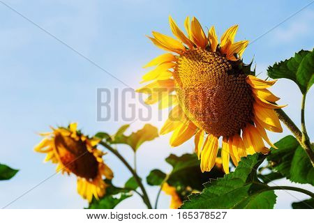Sunflower in garden with the bright sky.