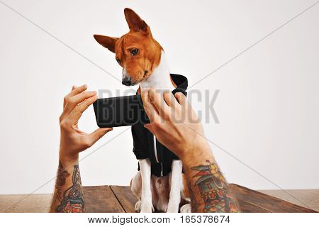 A cute brown and white dog tilts his head watching a video on smartphone screen on white background