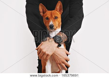 A man in black clothes is protecting his beautiful red and white basenji dog with disturbed face from any danger, isolated on white