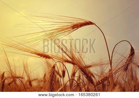 Field with barley ears in the sunset.