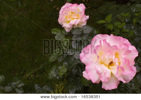 a large pink and yellow rose taken with a shallow depth of field creating a soft focus of green leaves and another rose