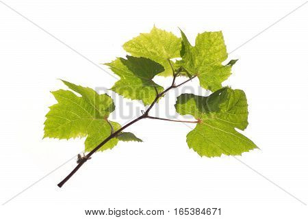 Green grape branch isolated on white diagonal view