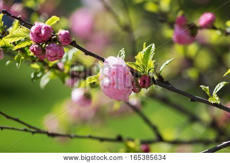 Oriental cherry branches with small pink flowers