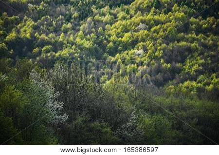 Spring forest with all color tones of green with special light - Photo from wild nature with trees, leafs and white flowers in blossom