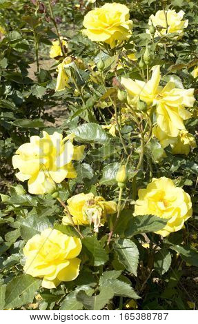 Shrub with yellow roses in garden vertical.