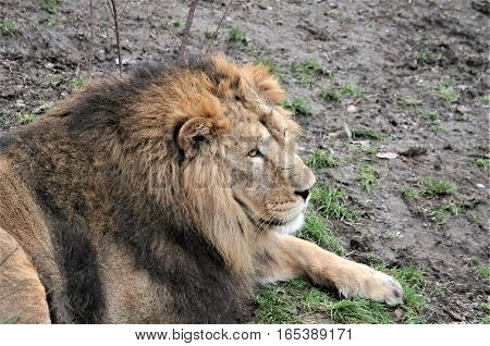 Asiatic Lion Close Up Rare And Endagered