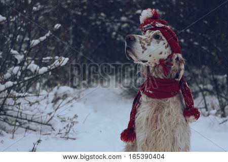 Vintage fashion and style New Year and Christmas: big white spotty dog of hunting breed English Setter portrait wearing red hat and scarf posing in snow and forest on winter wonderland background