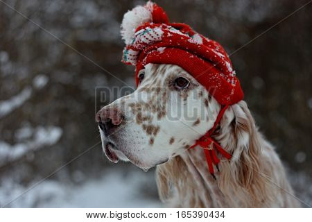 Adorable fashionable purebred spotty dog english setter close up portrait with red hat on isolated on natural winter christmas and new year background