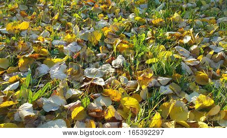 Autumn sunlight background with green grass and fallen leaves