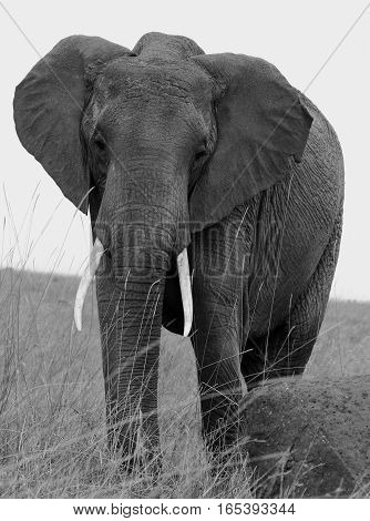 Black & White Elephant standing on the plains in Chobe National Park. Botswana, Southern Africa