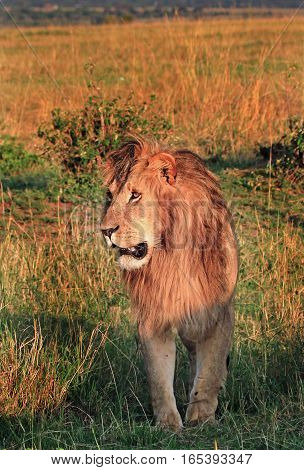 Sunlit male lion standing on the golden plains in Masai Mara National Park, Kenya, Eastern Africa