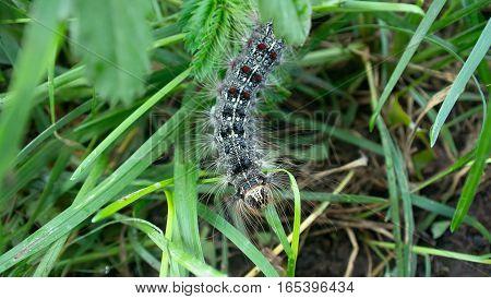 Lymantria dispar caterpillars move in forest. beautiful pest caterpillar in mountain woods