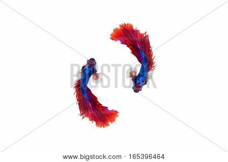 siamese fighting fish red and blue sky colour betta isolated on white background in top view.