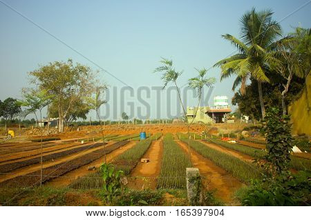 Idian farm growing flowers in open ground (floriculture). Spring germination of plants palms