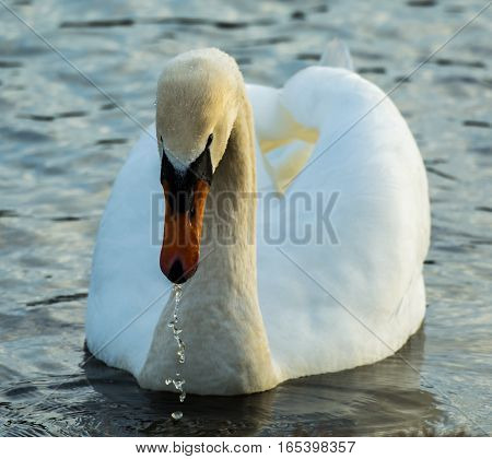 MUTE SWAN FRONTAL VIEW WITH WATER DRIPPING FROM ITS BILL