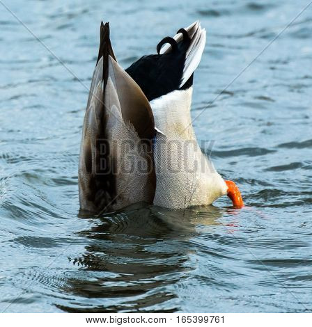 ISOLATED MALE MALLARD DUCK DIPPING FOR FOOD IN A POND