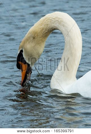 WHITE MUTE SWAN IN POND WITH BILL DIPPED IN WATER FEEDING