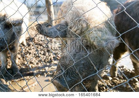 Woolly Pig - Mangalitza Curly Haired Mangalica Pig