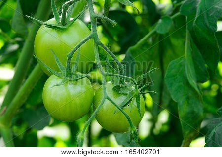 Branch of three green tomatoes. Agriculture concept.