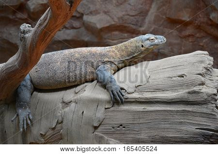 A komodo dragon laying on a log