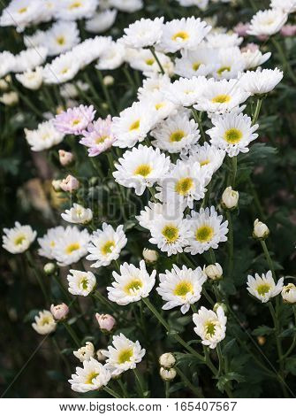 White chrysanthemum bunch in the flower bed of the countryside farm.
